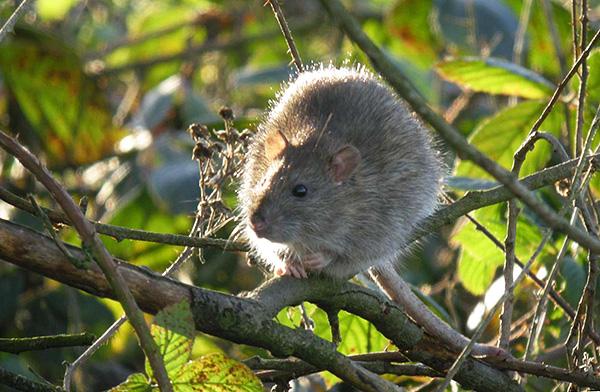 A szürke patkányok fákon élhetnek, szinte anélkül, hogy a földre zuhannának.