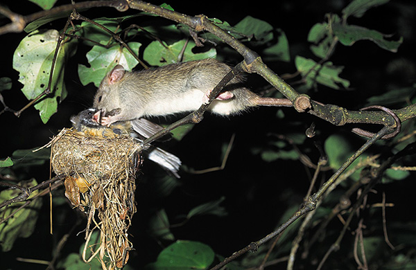 A patkányok nemcsak tojást ehetnek, hanem csibéket is támadhatnak.