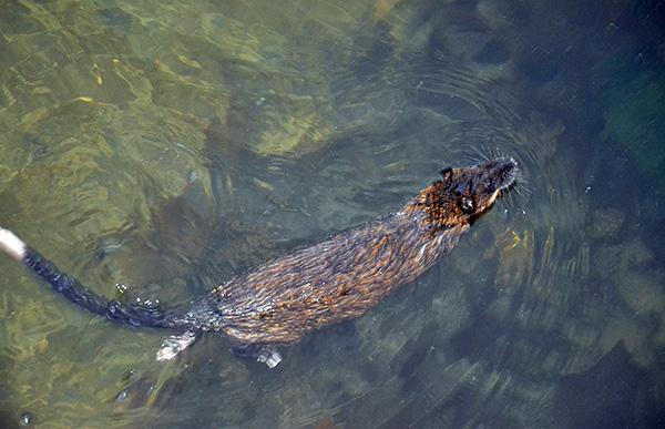 A tökéletes úszás lehetővé teszi, hogy a patkányok táplálékot szerezzenek, és ha szükséges, nagy távolságra mozogjanak a vízen.