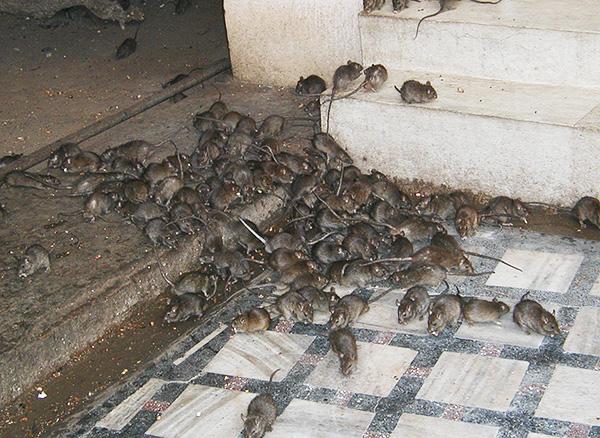 A nagyvárosokban körülbelül egy patkány van egy lakosonként.