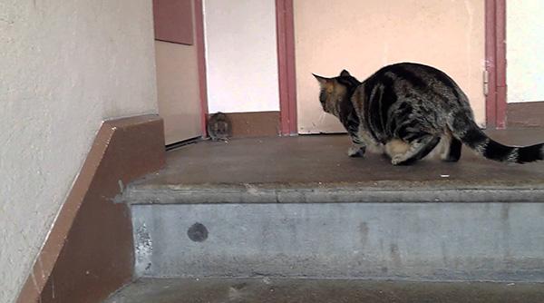 A sarokban lévő szürke patkányok képesek agresszív védekezésre, tehát nem minden macska képes elkapni őket.