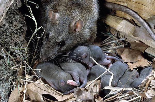 Női szürke patkány nemrégiben született kölykökkel.