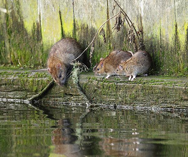 Vadonban a szürke patkányok a víz közelében próbálnak telepedni.