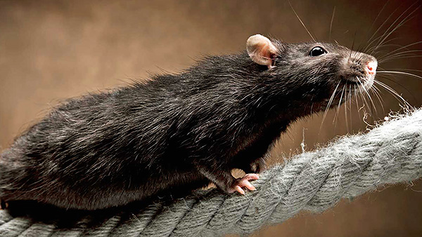 A fekete patkányok kezdetben gyorsabban terjedtek az egész világon, hajókra való hajlamuk miatt.