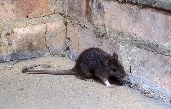 A fekete patkányok elsősorban kikötőkben és a házak tetőtérén élnek, ellentétben a szürkével, amelyek mindenütt jelen vannak.