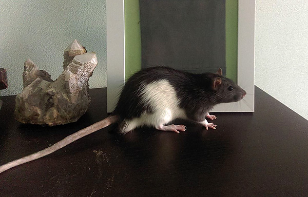 Különböző színű dekoratív patkányok nagyon népszerű háziállatok.