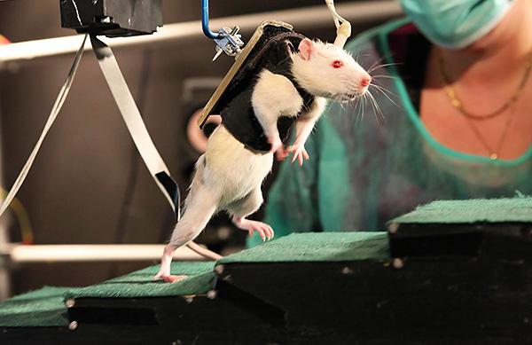 A laboratóriumi patkányok életük árán felbecsülhetetlen segítséget nyújtanak az egész emberiség számára ...