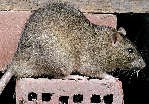 Egy szürke patkány elérheti a 24 centiméter hosszúságot, míg a farka mindig rövidebb, mint a test, ellentétben a fekete patkányokkal.