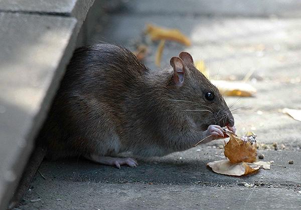 A pasyuk étrendje nagyon változatos lehet.