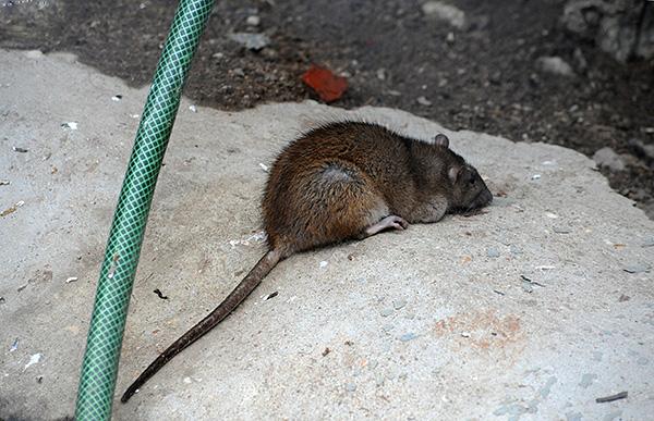 A felnőtt szürke patkány nagyobb méretben különbözik a feketeétől.