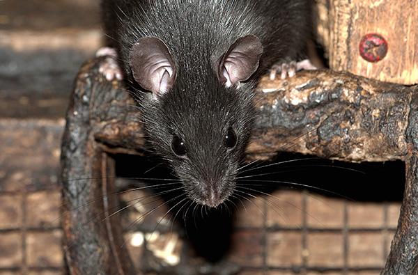 A fekete patkány átlagosan kisebb, mint a méhészet, de hosszabb könyök és nagyobb fülekkel rendelkezik.