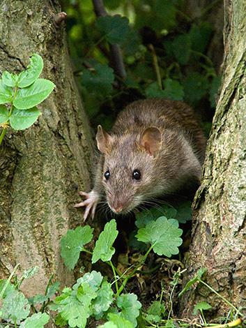 Szürke patkány