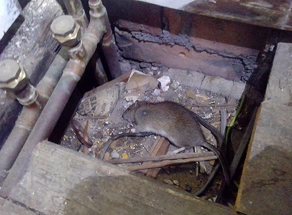 Un rongeur empoisonné peut mourir dans un endroit éloigné et dégager par la suite une forte odeur de cadavère lorsqu'il est décomposé.