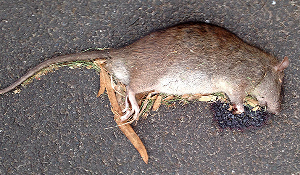 L'empoisonnement alimentaire provoque des saignements chez le rat, ce qui entraîne la mort des animaux.