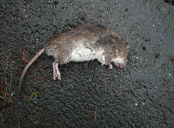 Sur l'emballage de Rat Death de la société Tigard, un effet momifiant est déclaré, mais il ne s'agit que d'un stratagème publicitaire.