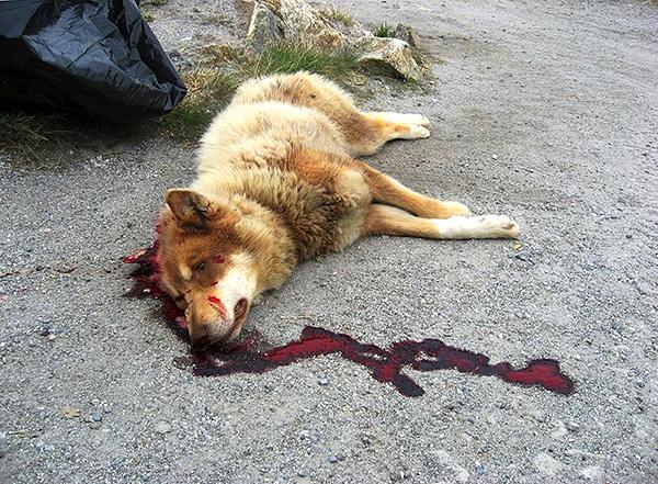 Les cas d'intoxication par le poison de rat d'animaux domestiques et d'animaux errants sont fréquents, en l'absence de soins médicaux conduisant dans la plupart des cas à la mort.
