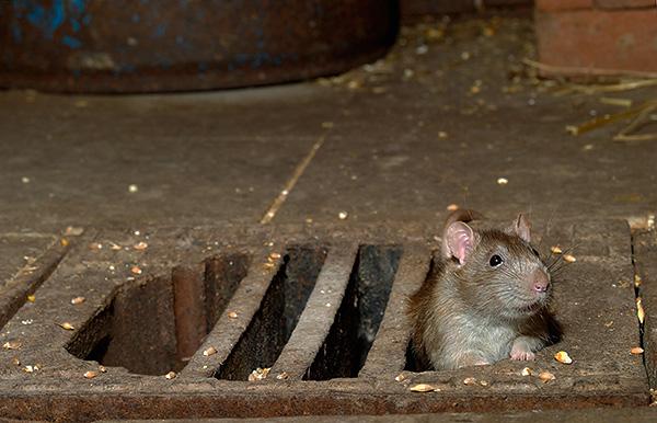 Le poison pour les rongeurs Rat Death 1 est tout aussi efficace dans les installations industrielles que dans les foyers, il est seulement important de calculer correctement la quantité de poison utilisée.