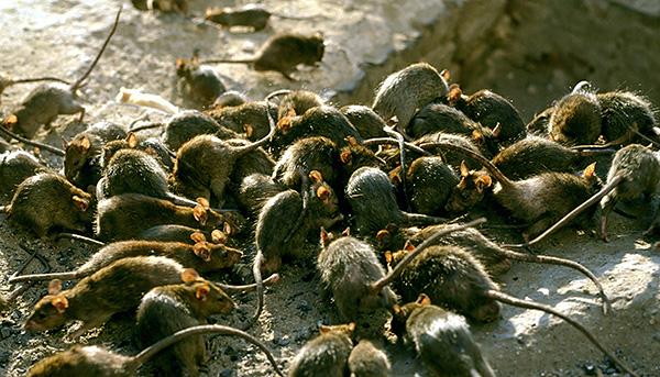 Même avec une invasion massive de rats, ils n'attaquent pas les gens pour qu'ils mordent à mort et mangent.