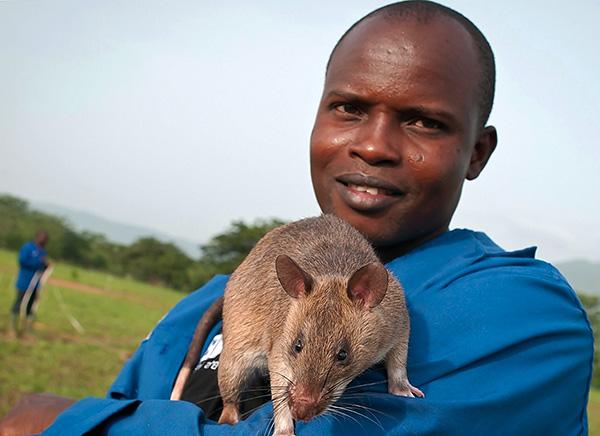 Az afrikai erszényes patkányok a világ egyik legnagyobb, de nem félnek az emberektől és soha nem támadják meg őket.