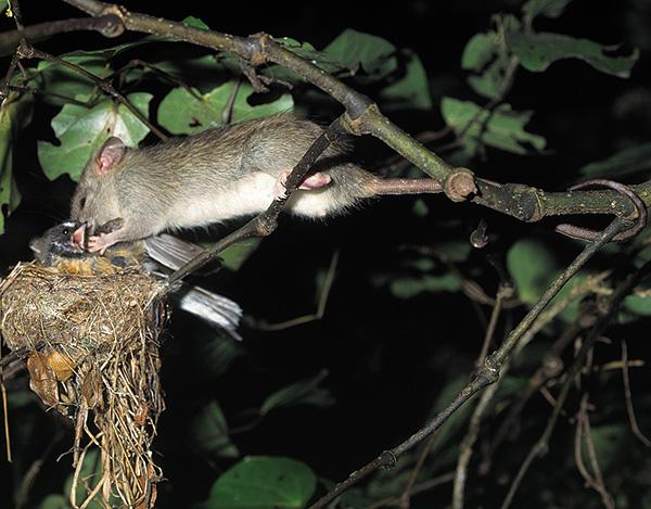 A vadonban a patkányok nagyon agresszívek és támadhatnak más kicsi állatokat.