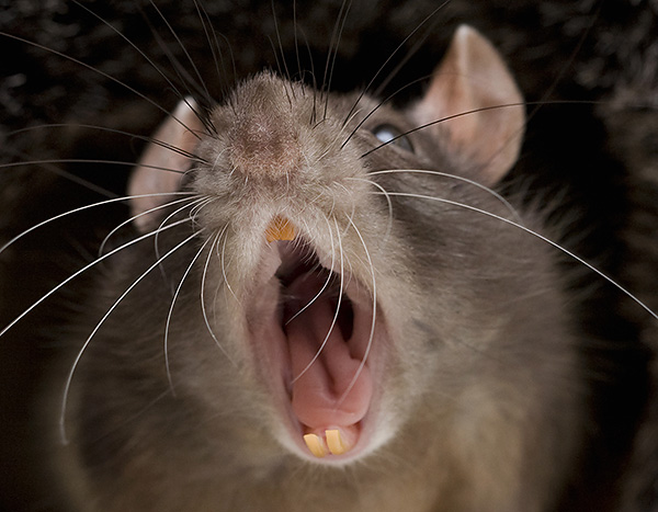 Les rats domestiques (décoratifs) peuvent également mordre une personne, si provoquée