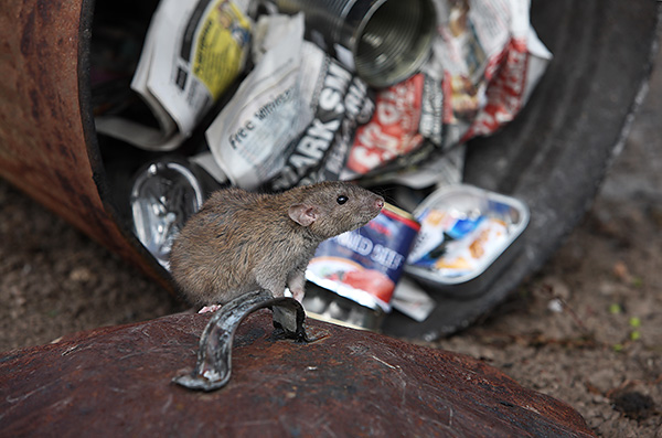 La cause la plus courante d'attaques de rats sur des humains est la légitime défense.