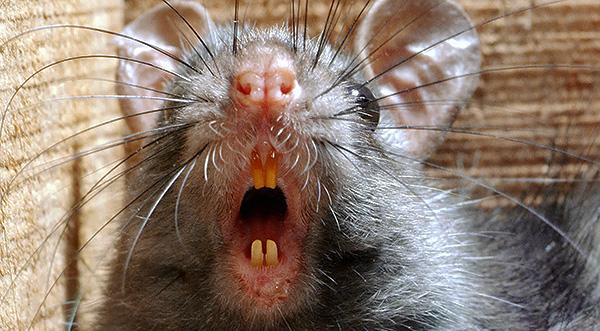 Les rats sont porteurs d'un grand nombre de maladies infectieuses, telles que le tétanos et la soude, qui peuvent être transmises à l'homme par la salive des rongeurs lorsqu'elles sont piquées.