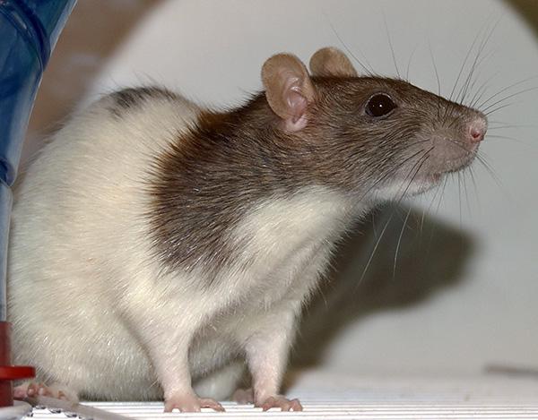Les répulsifs bon marché, s'ils sont capables d'affecter les rats et les souris, uniquement de très près, de sorte que leur efficacité est généralement faible.