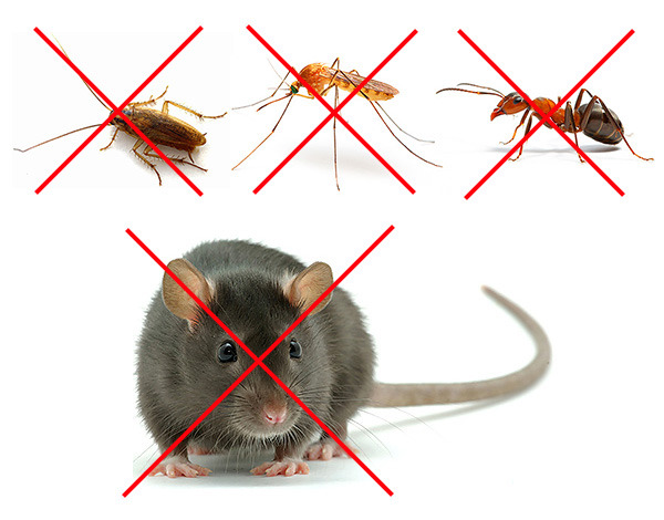 Ne comptez pas sur le fait que le répulsif se débarrassera à la fois des rats et des cafards - ce sont des inventions de vendeurs entreprenants.
