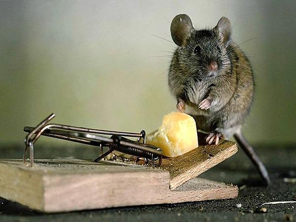 Ang keso ay talagang maiakit ang isang rodent sa isang bitag, ngunit hindi masasabi na ito ang pinakamahusay na pain, tulad ng madalas na ipinapakita sa mga cartoons.
