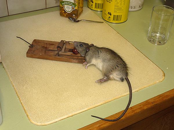 Ang daga, na flattered ng isang piraso ng pinausukang sausage, nahulog sa isang mousetrap.