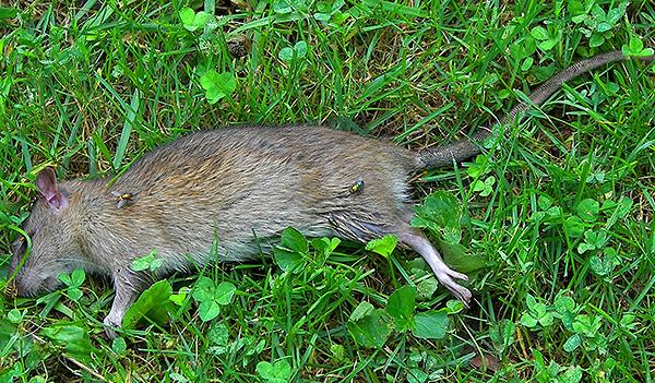 Hiányosságai miatt a patkányokat egyre inkább kiszorítják a piacról hatékonyabb patkánymérgek.