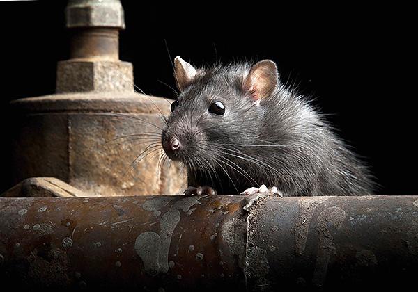 A fekete patkányok óvatosabbak, mint a szürke társaik, és elkerülhetik sok olyan mérgezett csalit, amelyek felkeltették gyanújukat.