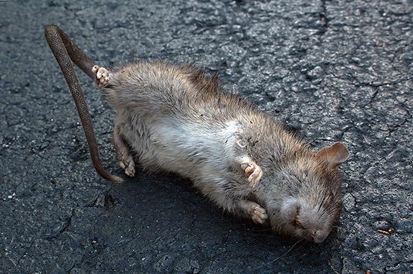 A gipsztej az egyik legnépszerűbb mérgező recept a patkányok és egerek megsemmisítésére.