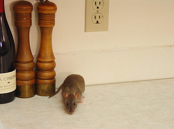 Az alacsony valószínűség ellenére a patkányharapás utáni fertőzés továbbra is lehetséges, ezért figyeljen a jellegzetes jelekre, amelyek a fertőzés esetén előfordulhatnak.