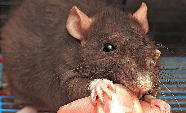 Nem kell félnie a házi dekoratív patkányok harapásától, mivel az ilyen állatok általában egészségesek és nem annyira agresszívek, mint vad társaik.