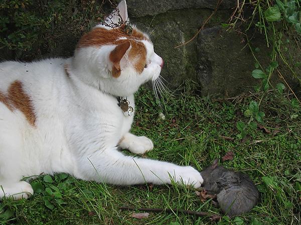 A legtöbb esetben a patkányharapás nem veszélyes háziállatokra, ha a háziállat önállóan nyalogathatja a sebet.