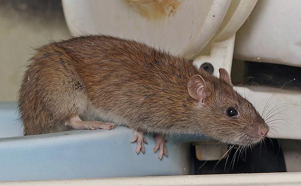A patkányok harapással súlyos sérüléseket okozhatnak, és megfertőzhetnek bizonyos típusú nagyon veszélyes fertőző betegségeket.