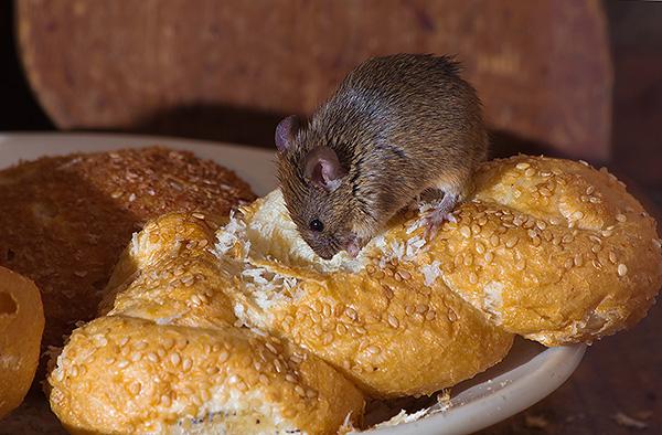 Nem szabad megfeledkezni arról, hogy a patkányok által okozott fertőzések leggyakrabban az elkényeztetett táplálékkal, nem pedig a harapásokkal terjednek az emberekre.
