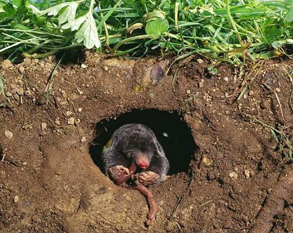 Même après la capture de tous les grains de beauté dans la maison de campagne, de nouveaux ravageurs arrivent souvent après un certain temps.