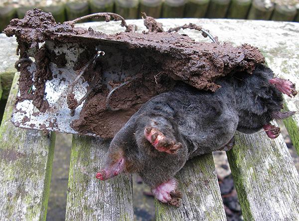 Bármelyik oldalon is a vakond megközelít egy ilyen csapdát, az állatot továbbra is fogják.