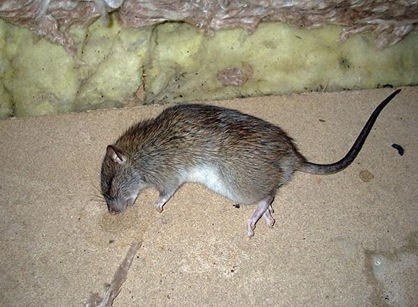 Nézzük meg, mi a legjobb módszer a patkányok és egerek mérgezésére otthon, és milyen fontos pontokat kell figyelembe venni az egyik vagy másik gyógyszer kiválasztásakor ...