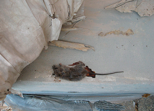 Nem szabad megfeledkezni arról, hogy bomlásukkor az elhullott rágcsálók holtos szagaval tölthetik meg a házat, és a hasított testek nem mindig érhetők el nehezen elérhető helyeken.