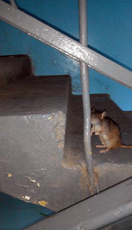 Ha patkányokat találnak egy apartmanház bejáratakor - ez alkalom, hogy felvegye a kapcsolatot az SES-szel és az alapkezelő társasággal.