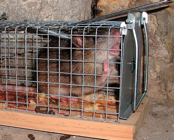 A képen egy élő csapdába fogott patkány látható.