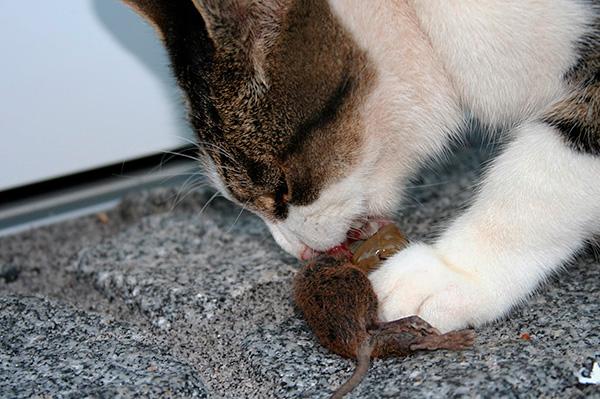 Nem szükséges a házban lévő patkányokat mérgezéssel megmérgezni - gyakran elég egy patkánycsapda megszerzéséhez is.