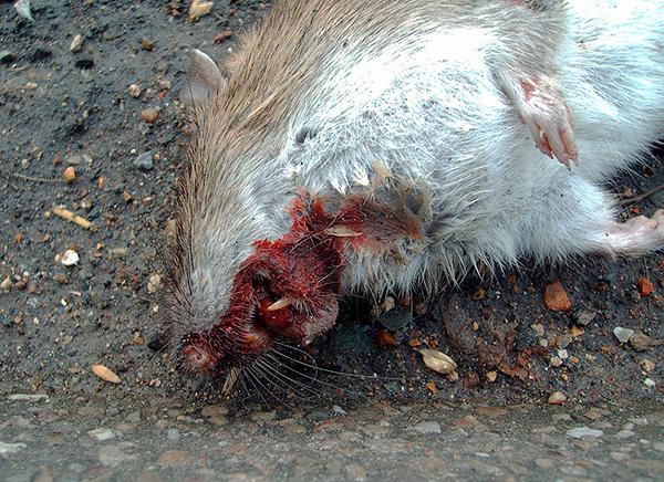 A képen egy patkány látható, aki mérgezés után belső vérzésből halt meg.