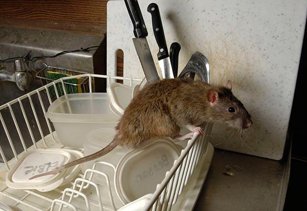Próbáljuk meg kitalálni, hogyan válasszuk ki a megfelelő elektronikus riasztót, amely valóban lehetővé teszi, hogy megszabaduljon a patkányoktól és az egerektől a házban ...