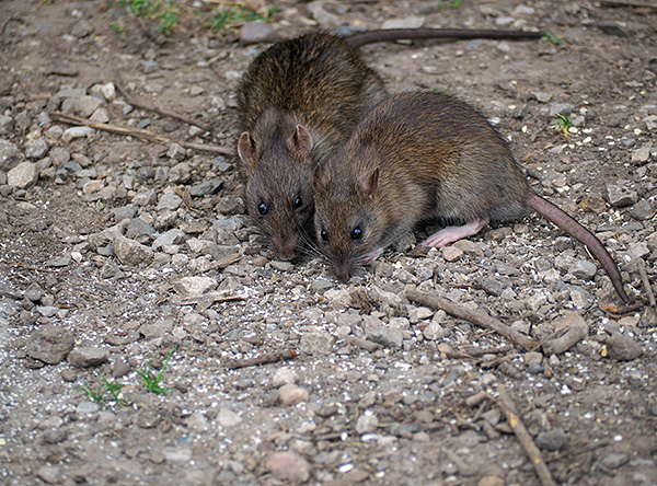 Ang Rats ay mga tagadala ng typhus endemic.