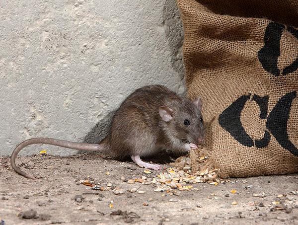 Maaari kang makakuha ng mga impeksyon sa pamamagitan ng pagkain na nasamsam ng mga rodents.